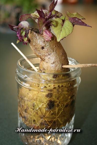 От воспаления суставов - проросшая картошка (2)