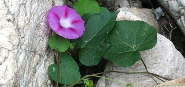 Ипомея - цветок утренней зари из капрона