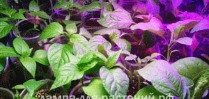 Какие фитолампы лучше всего подходят для выращивания рассады
