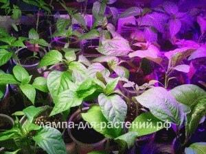 Какие фитолампы лучше всего подходят для выращивания рассады (3)