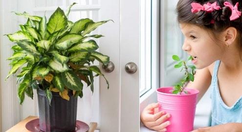 Опасные для детей комнатные растения (3)