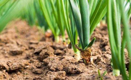 Выращивание лука-порея через рассаду. Посевной календарь 2017