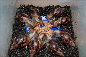 Беспозвоночные морские животные - морской огурец, улитка ахатина, гидроид медуза (1)