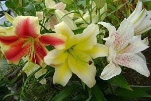 Какие существуют лилии. Сорта с фото и названиями (3)