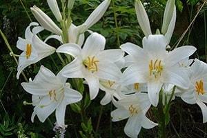 Какие существуют лилии. Сорта с фото и названиями (4)