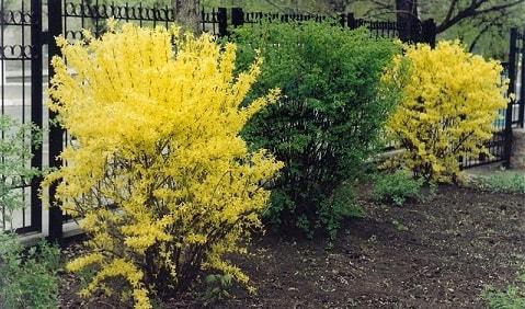 Красивые кустарники для вашего сада - самшит, форзиция, клещевина (1)