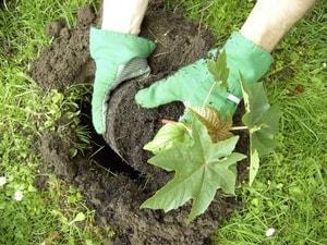 Красивые кустарники для вашего сада - самшит, форзиция, клещевина (2)