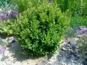 Красивые кустарники для вашего сада - самшит, форзиция, клещевина (3)