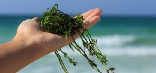 Морские водоросли – ценный продукт, богатый йодом, витаминами, минералами и аминокислотами