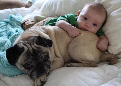 Собака как домашний питомец (3)