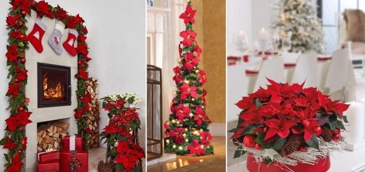 Пуансеттия в рождественском интерьере