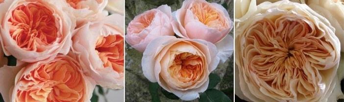 Английская роза Juliet Дэвида Остина из ткани (19)