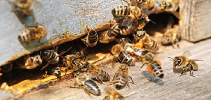 Как защитить пчел от болезней и вредителей (1)