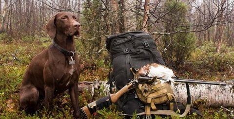 Верный помощник - охотничья собака курцхаар (1)