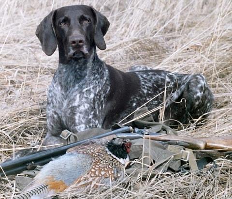 Верный помощник - охотничья собака курцхаар (2)