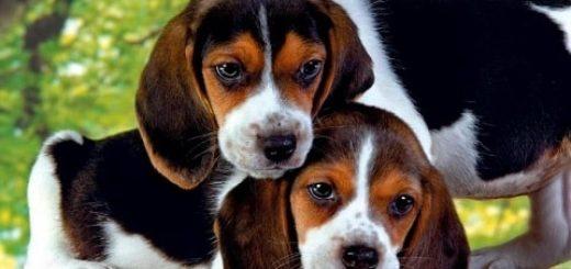 Все про породу собаки бигль