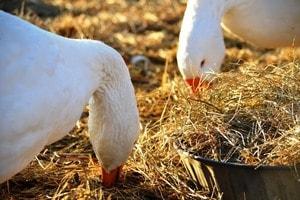 Как разводить гусей в домашних условиях (1)