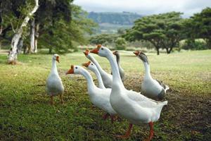 Как разводить гусей в домашних условиях (2)