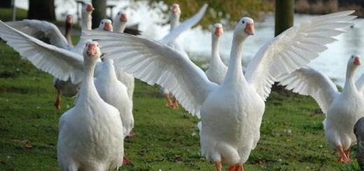 Как разводить гусей в домашних условиях (3)