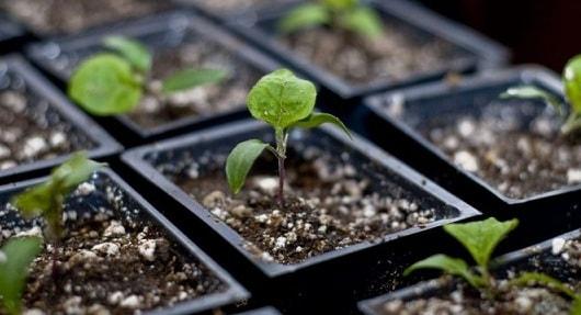 Баклажаны в теплице и на открытом грунте - секреты выращивания (1)