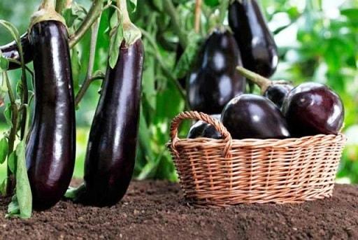 Баклажаны в теплице и на открытом грунте - секреты выращивания (2)